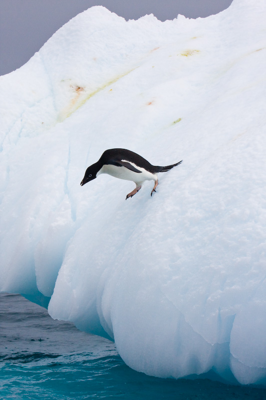 Adélie Penguin Diving Off Iceberg