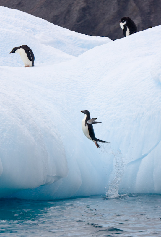 Adélie Penguin Jumping Onto Iceberg