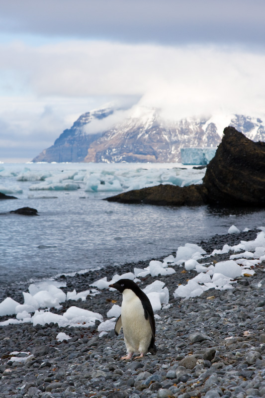 Adélie Penguin On Beach