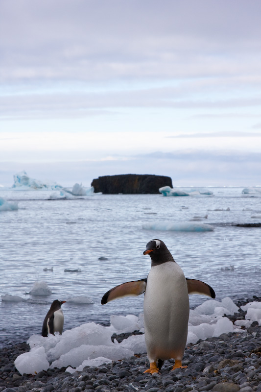 Adélie Penguin And Gentoo Penguin On Beach