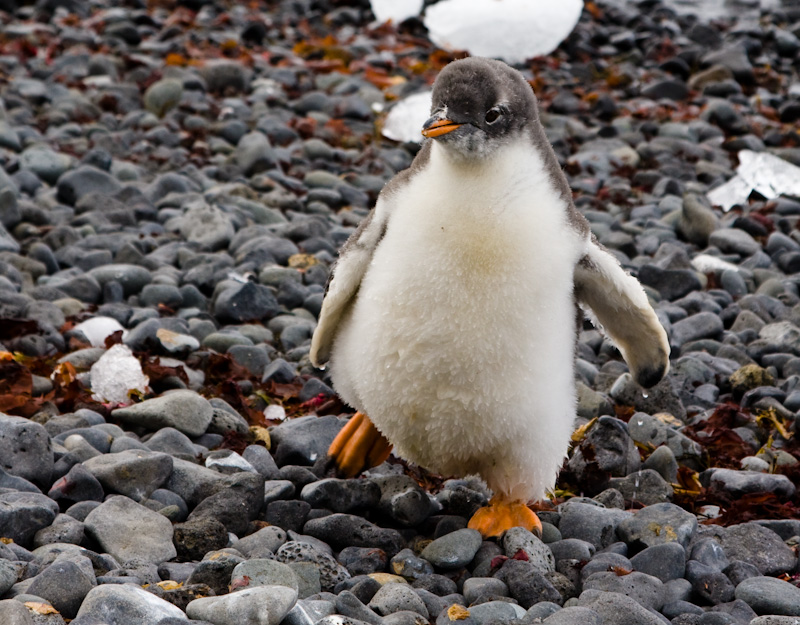 Juvenile Gentoo Penguin On Beach
