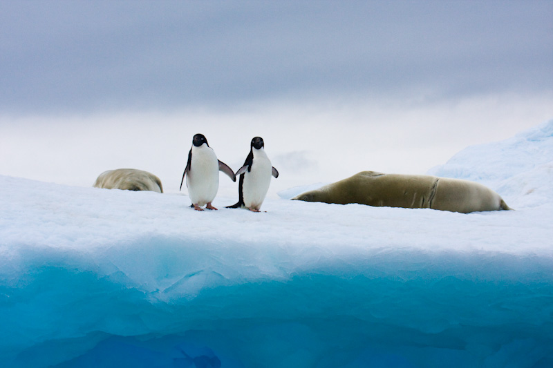 Adélie Penguins And Crabeater Seals On Iceberg