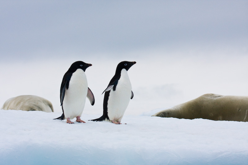 Adélie Penguin And Crabeater Seals On Iceberg