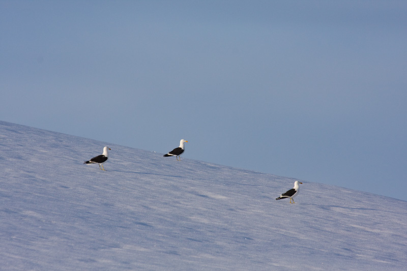 Kelp Gulls On Iceberg