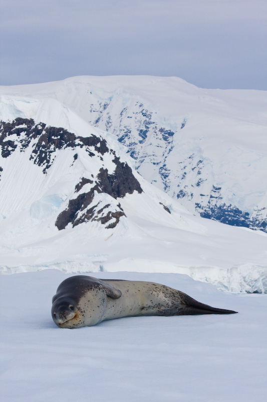 Leopard Seal On Iceberg