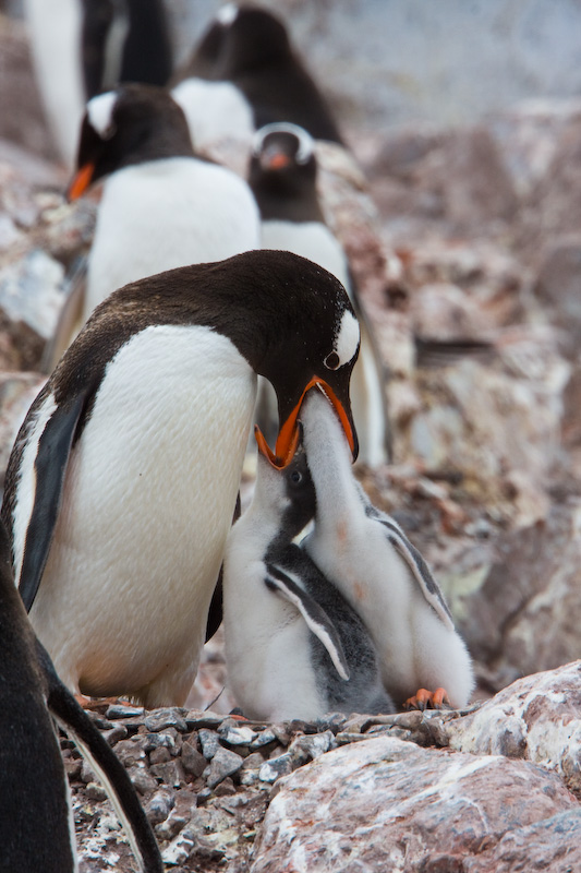 Gentoo Penguin Feeding Chicks