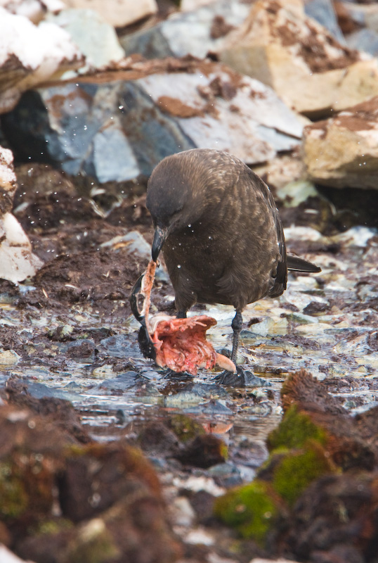 Brown Skua Eating Gentoo Penguin