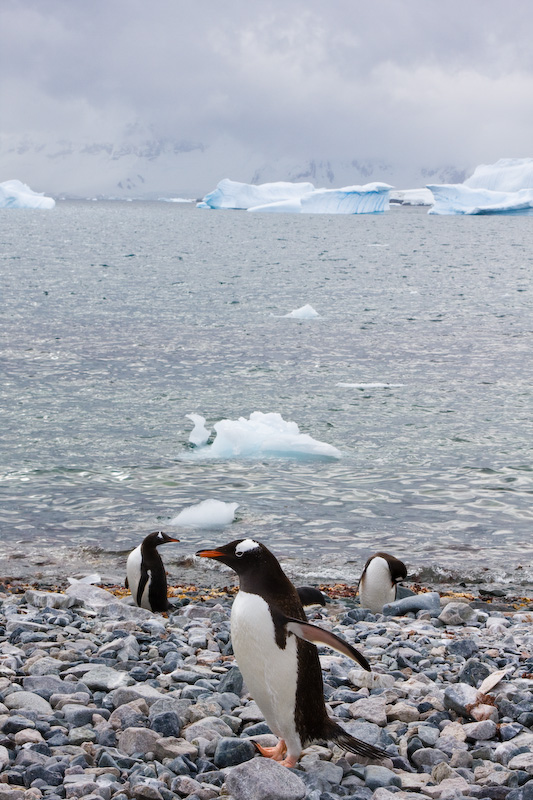 Gentoo Penguins On Beach