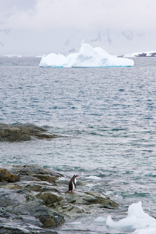 Gentoo Penguin On Shore