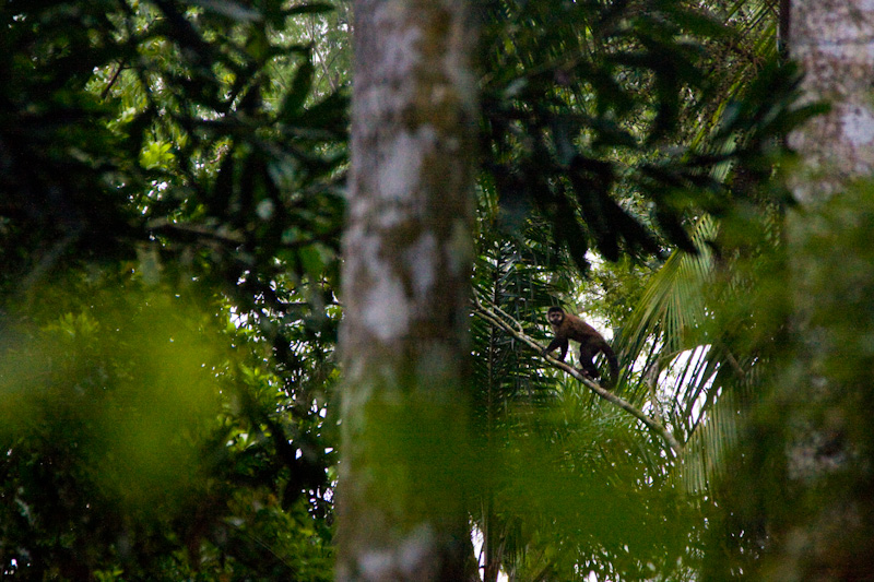 Brown Tufted Capuchin In Tree
