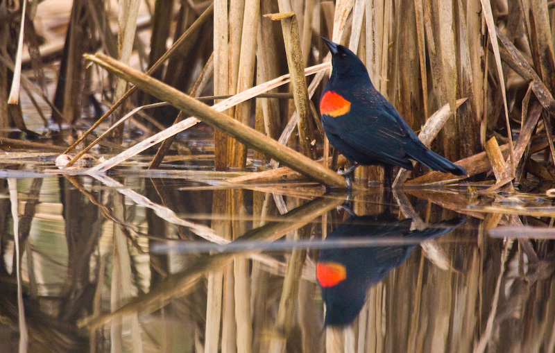 Red-Winged Blackbird Reflected In Water