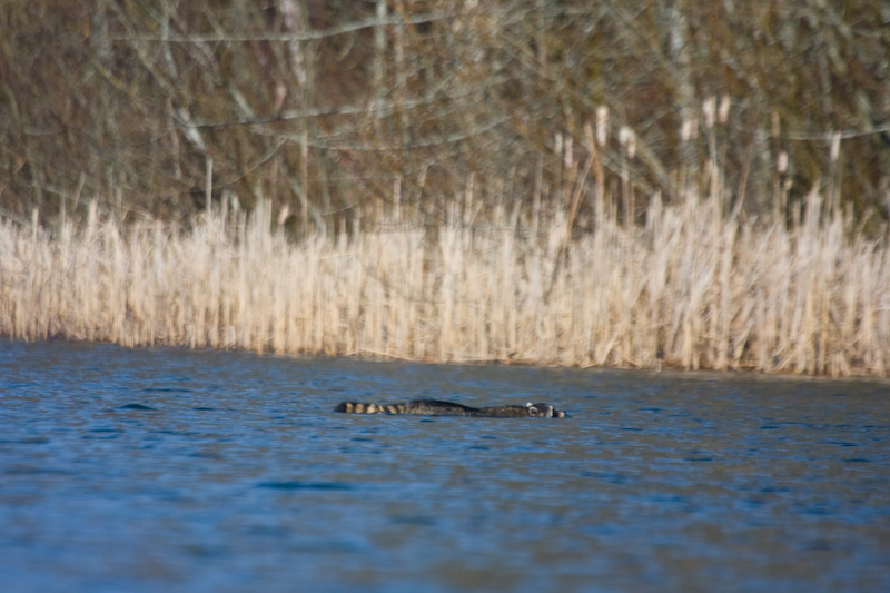 Racoon Swimming Across The Sammamish River