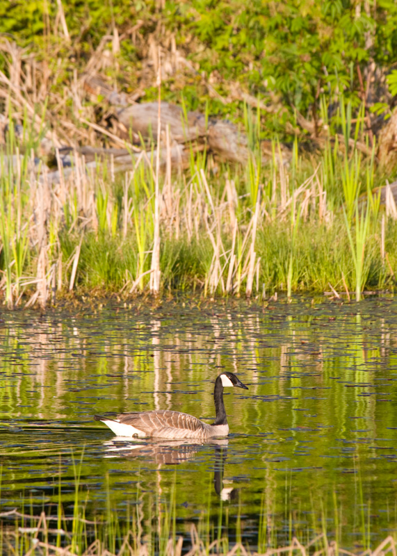 Canadian Goose Reflected In Wetland