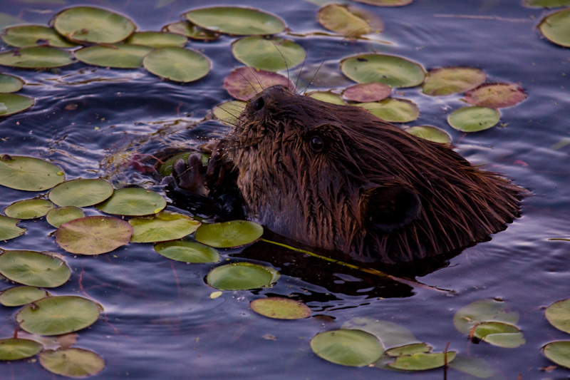 Beaver Eating Lillies