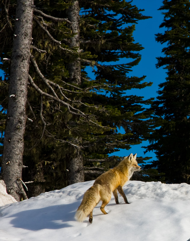 Red Fox On Snowbank