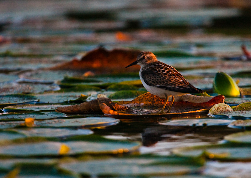 Least Sandpiper On Lily Pad
