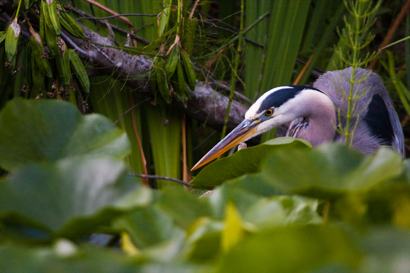 Great Blue Heron Hunting In Lily Pads
