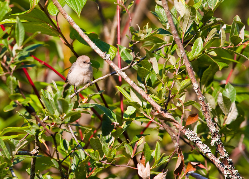 Bushtit In Tree