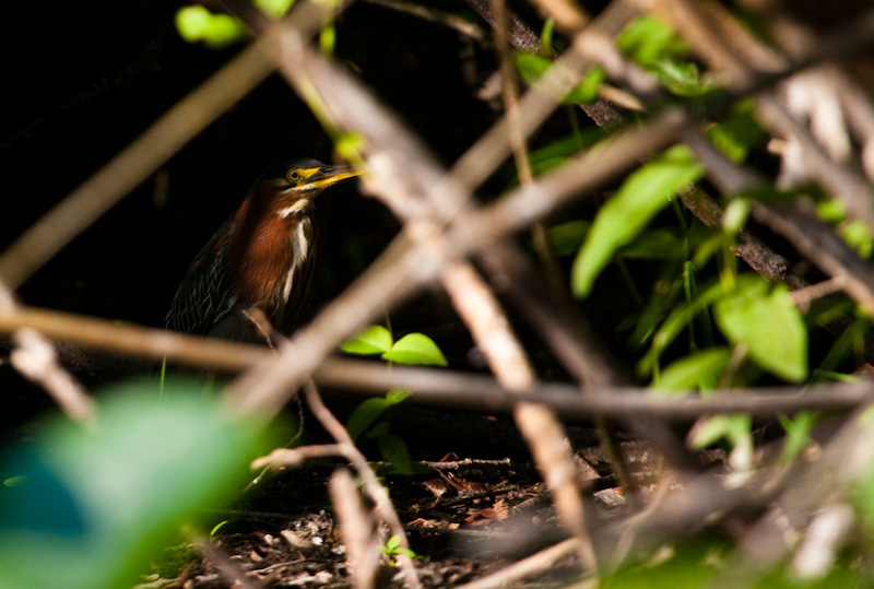 Green Heron Hiding In Undergrowth