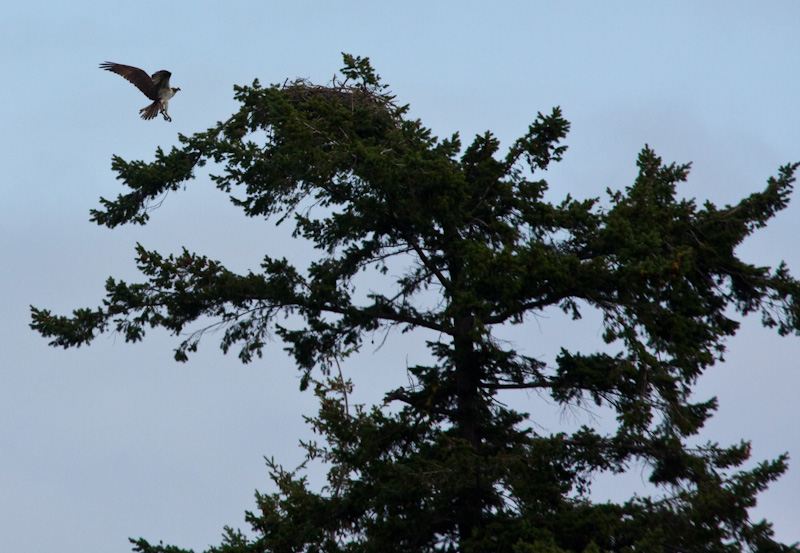 Osprey Landing In Tree