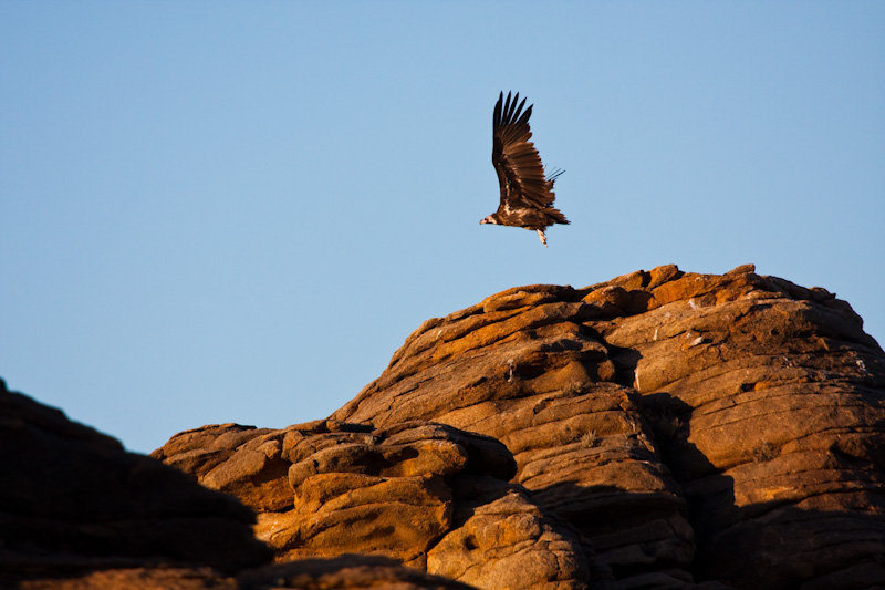 Cinareous Vulture Taking Flight
