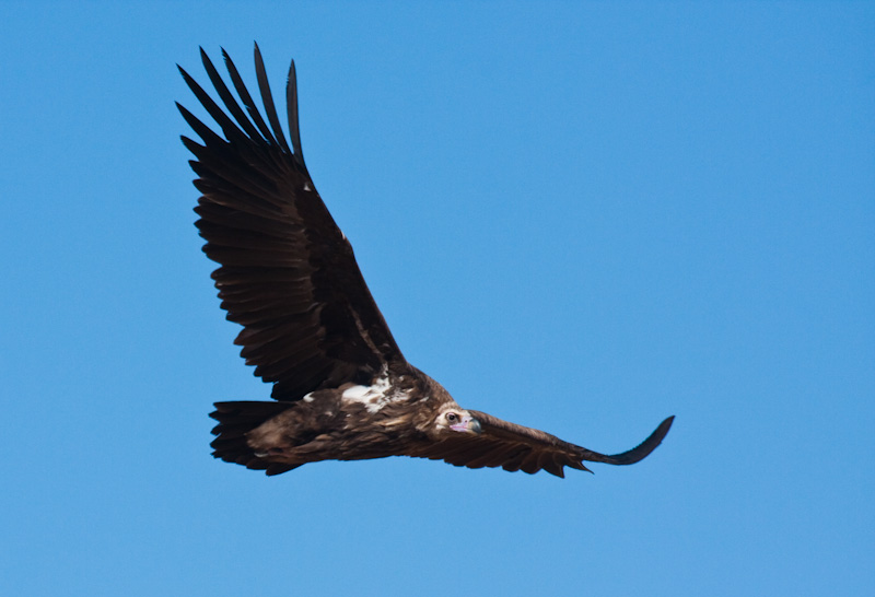 Cinareous Vulture In Flight