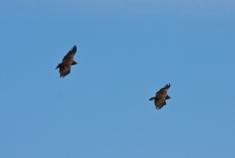 Cinareous Vultures In Flight