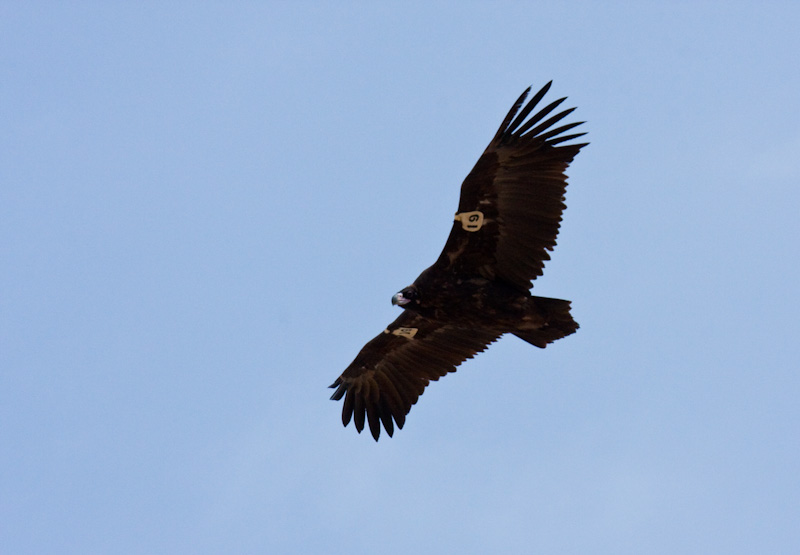 Cinareous Vulture (Tagged) In Flight