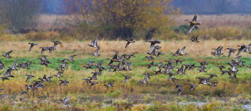 American Wigeon And Northern Pintail In Flight