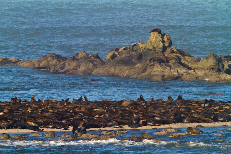 California Sea Lions On Simpson Reef