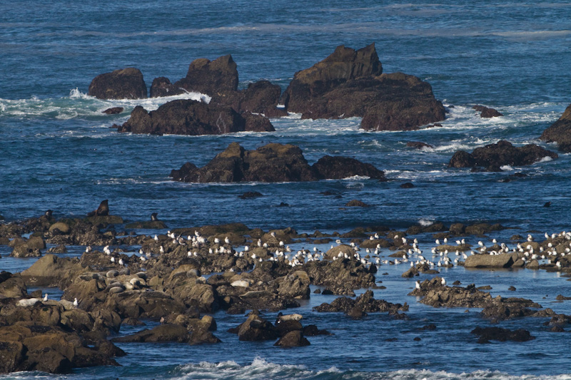 Gulls, California Sea Lions And Harbor Seals On Simpson Reef