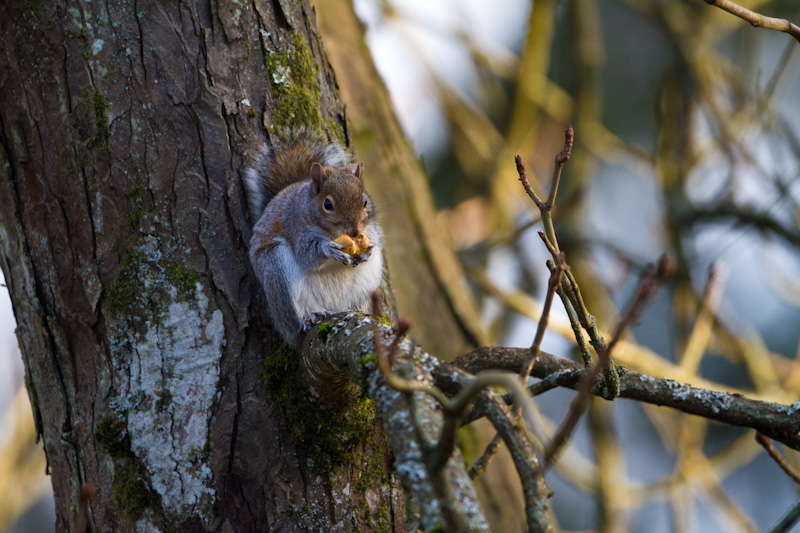 Eastern Gray Squirrel Eating Nut