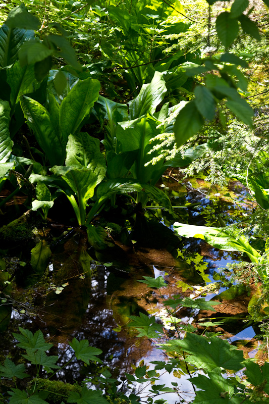 Skunk Cabbage And Small Pool
