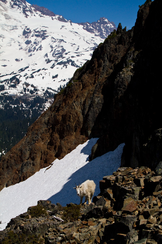 Mountain Goat And Little Tahoma