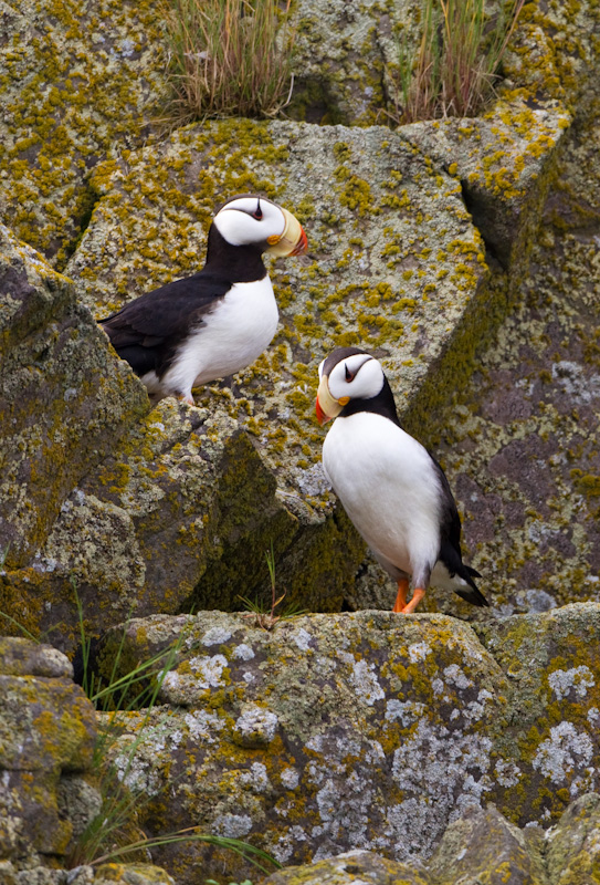 Horned Puffins