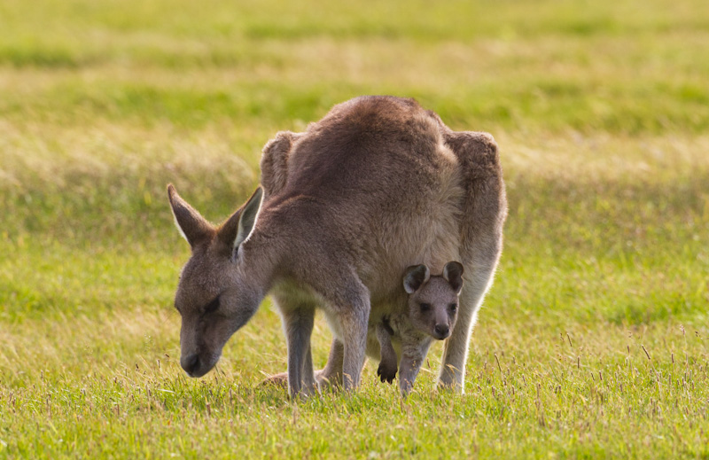 Eastern Gray Kangaroo With Joey In Pouch