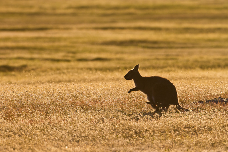 Red-Necked Wallaby Silhouette