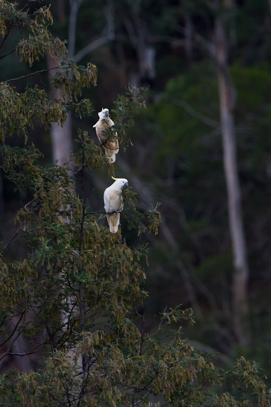 Sulphur-Crested Cockatoos In Tree