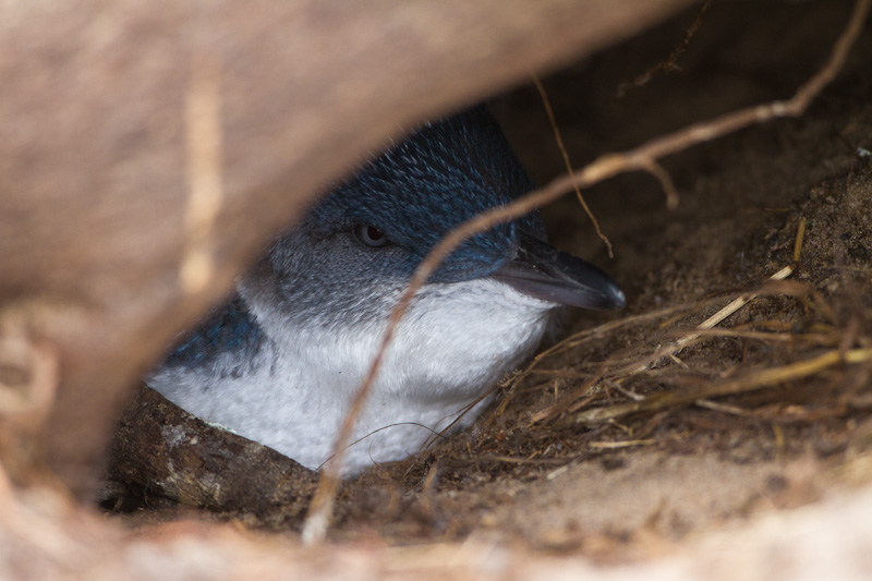 Little Penguin In Burrow