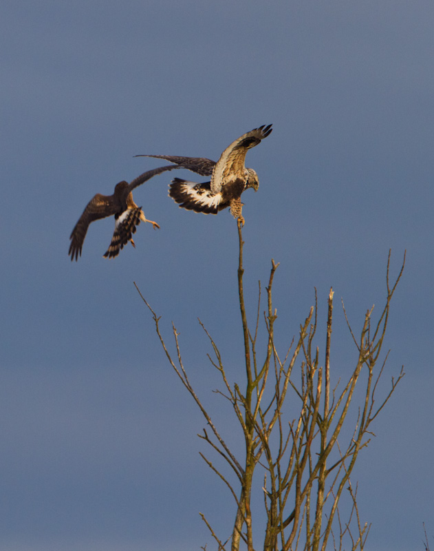 Northern Harrier And Swainsons Hawk Fighting Over Perch