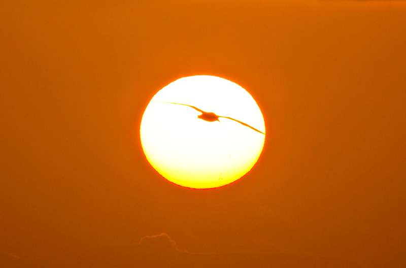 Laysan Albatross Silhouette At Sunset