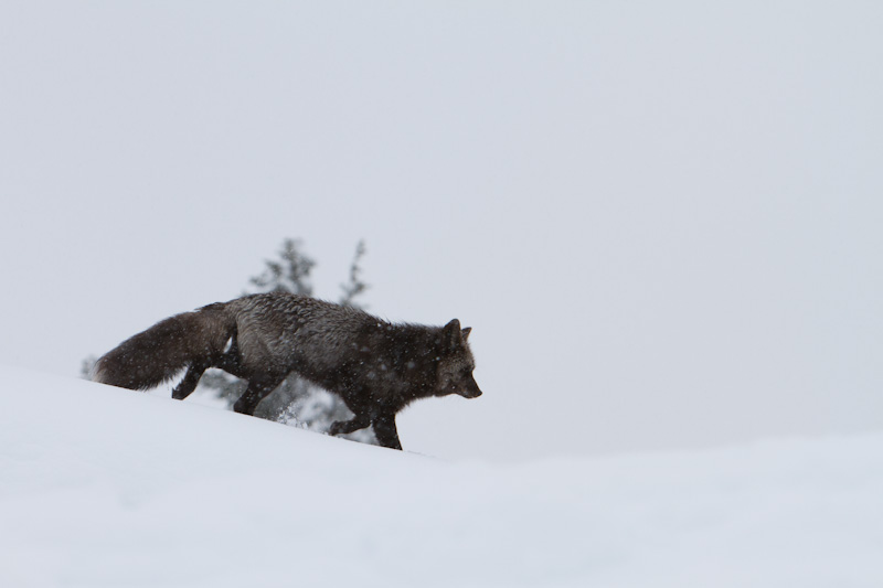 Red Fox In Snowstorm