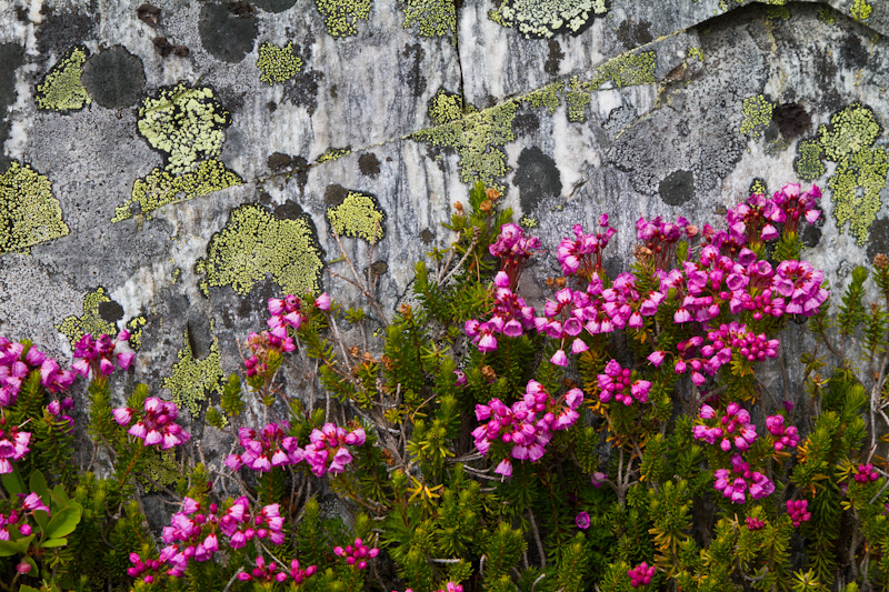 Pink Mountain Heather And Lichen Covered Rock