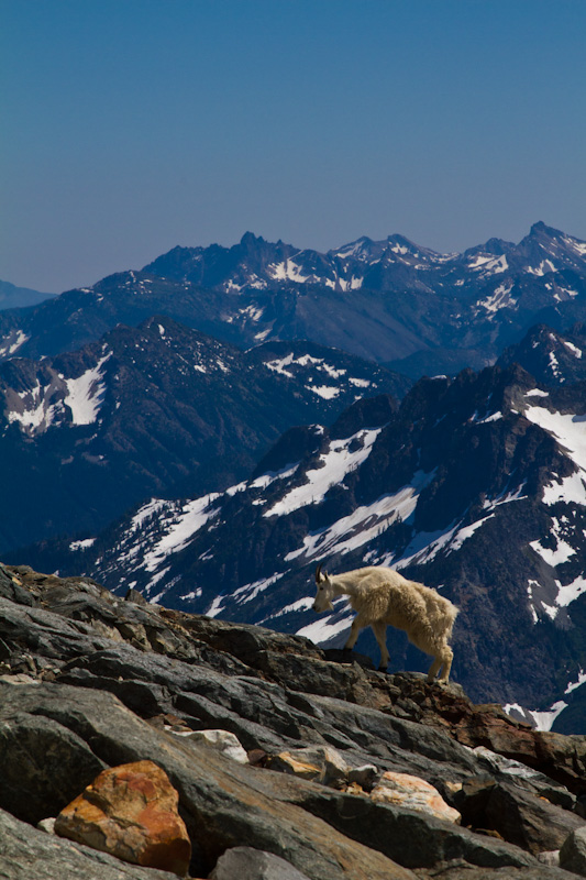 Mountain Goat And The North Cascades