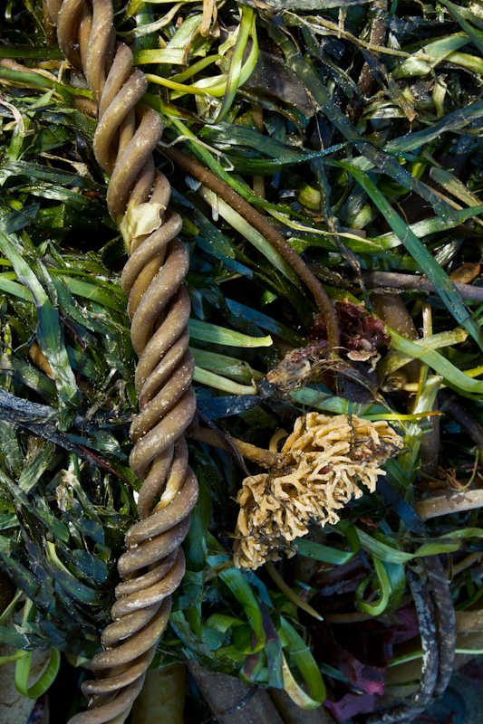 Twisted Kelp Fronds
