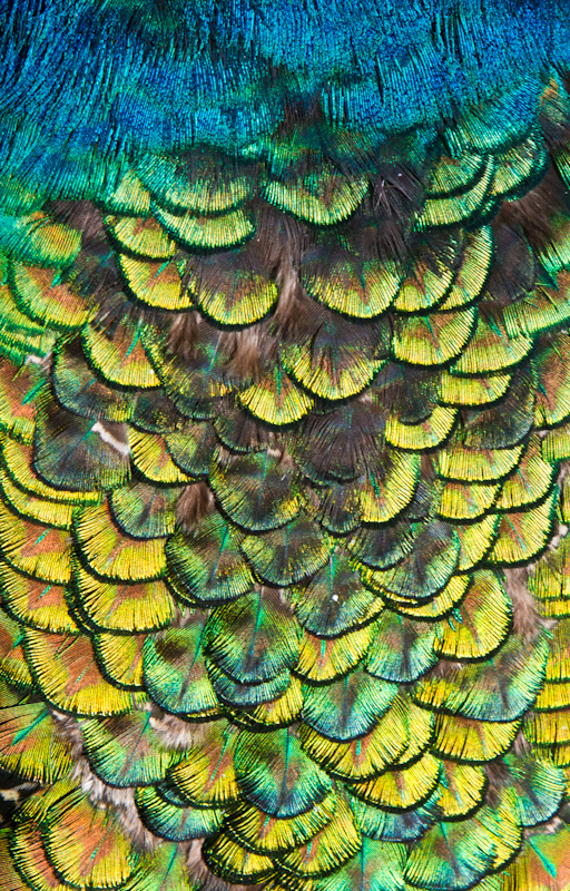 Indian Peafowl Feather Detail (Captive)