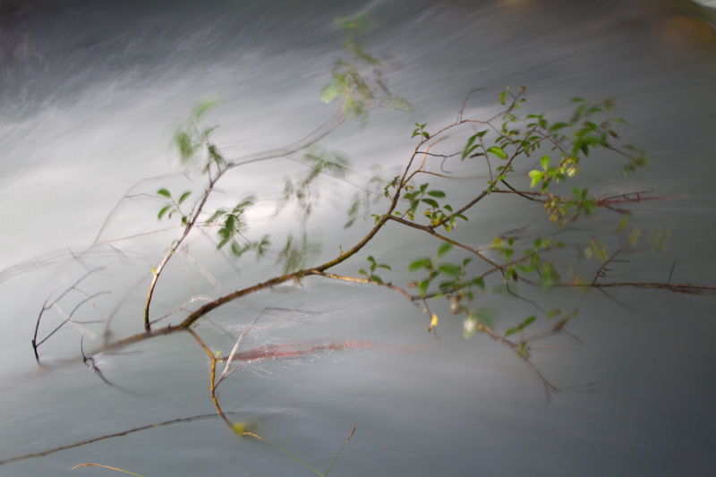 Sapling In Nisqually River