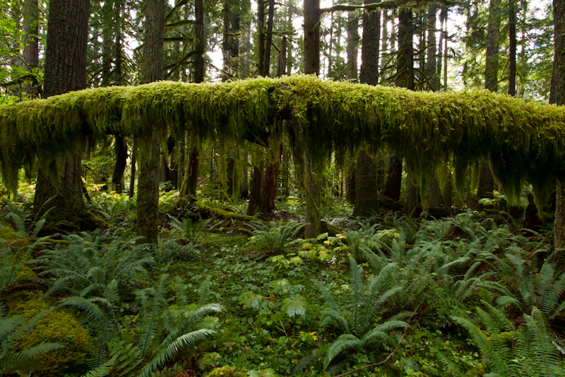 Moss Covering Suspended Fallen Tree