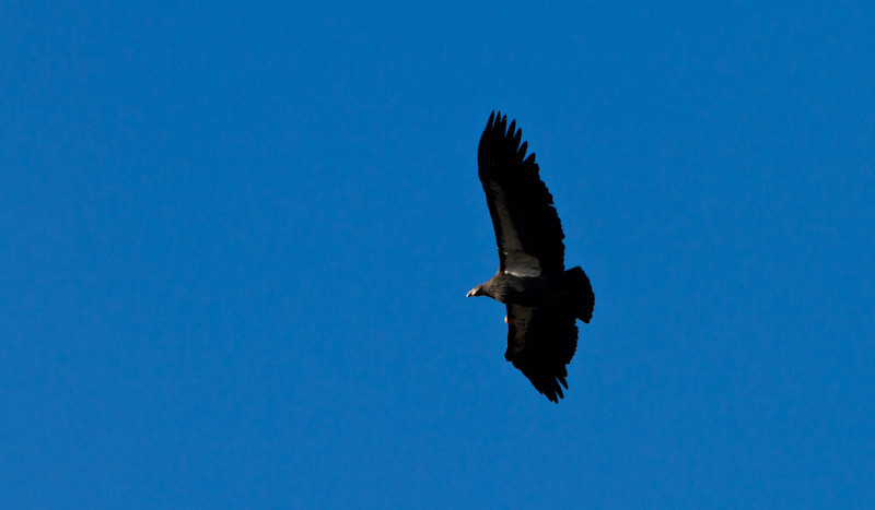 California Condor In Flight