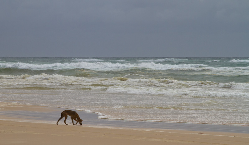 Dingo On Beach